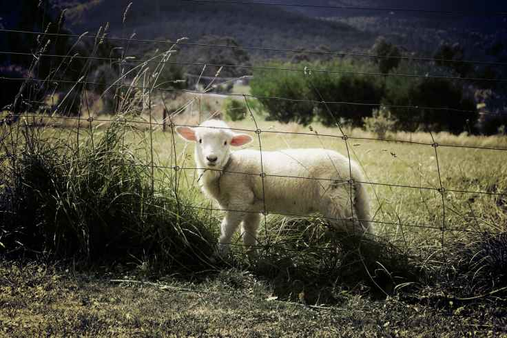 lamb-sheep-farm-animal-47078.jpeg