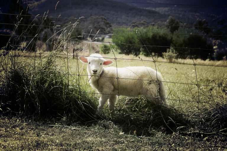 lamb-sheep-farm-animal-47078.jpeg