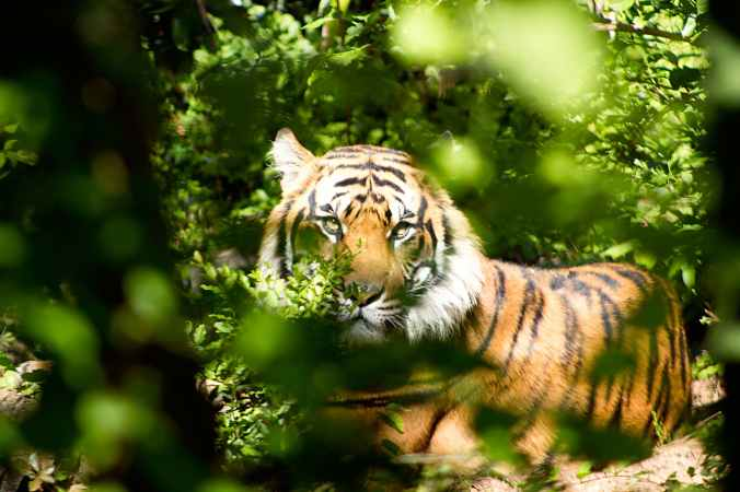 tiger through green leaves during day