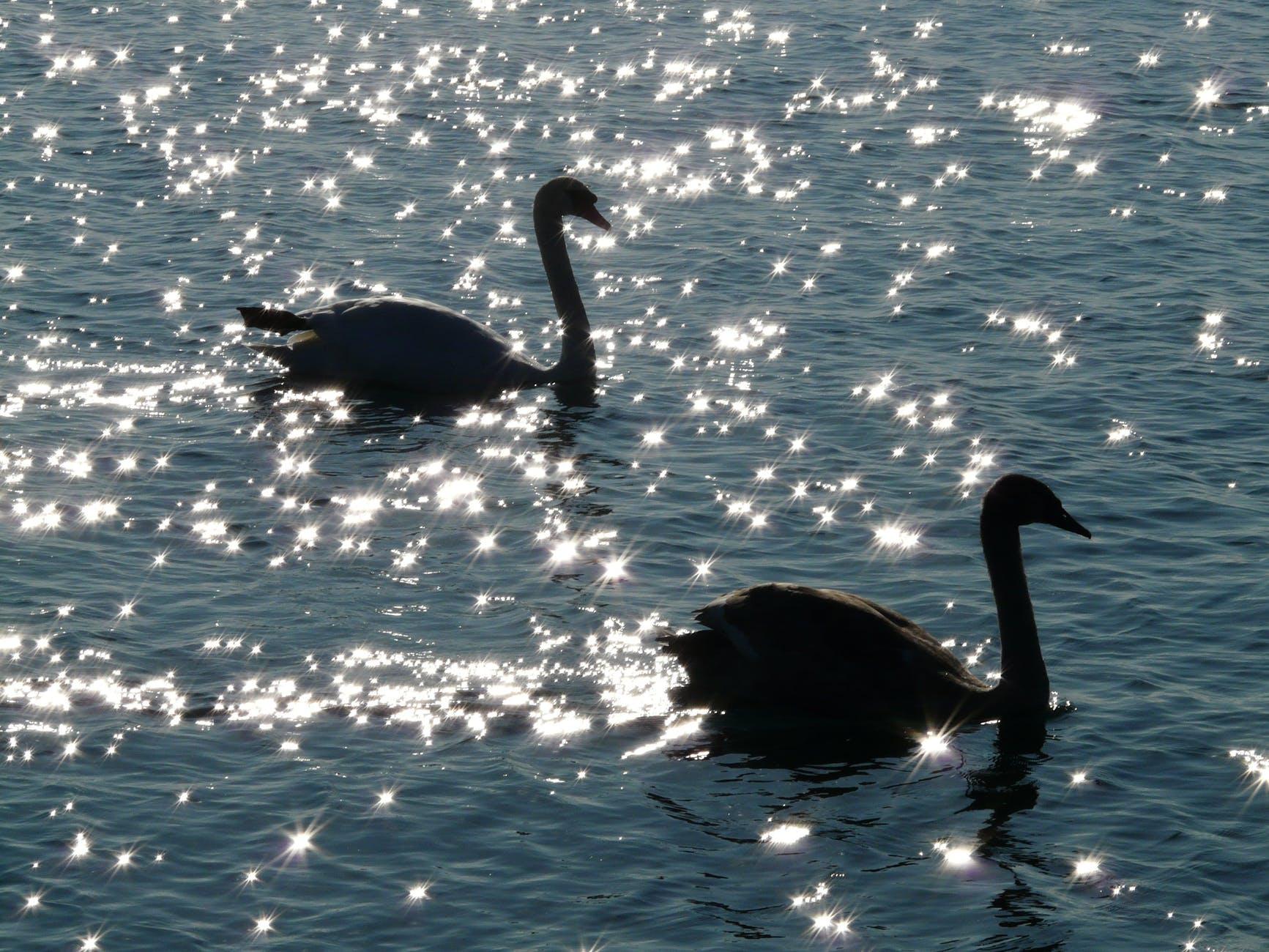 water animal swans swan
