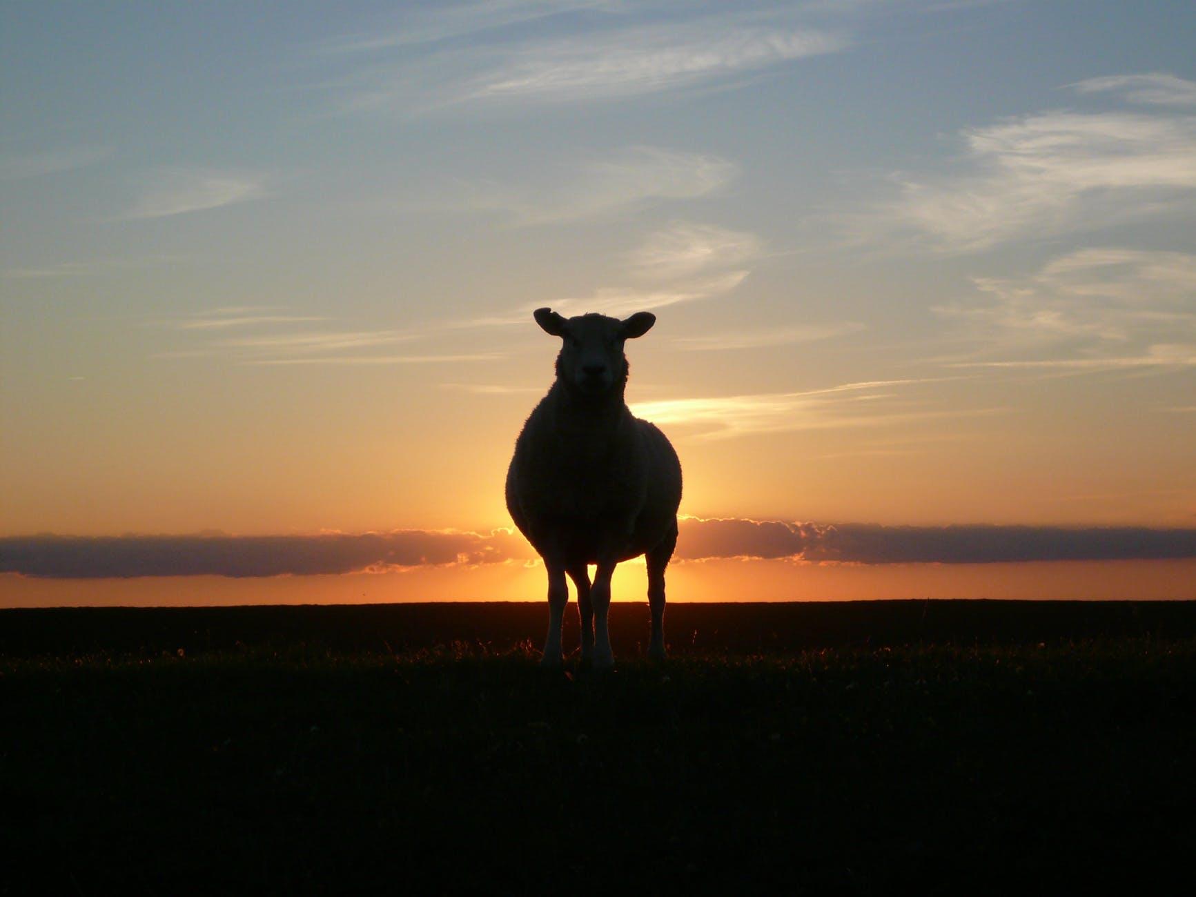 sunset sheep royalty free north sea