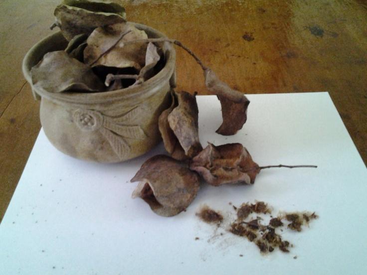 Jacaranda Seeds & pods